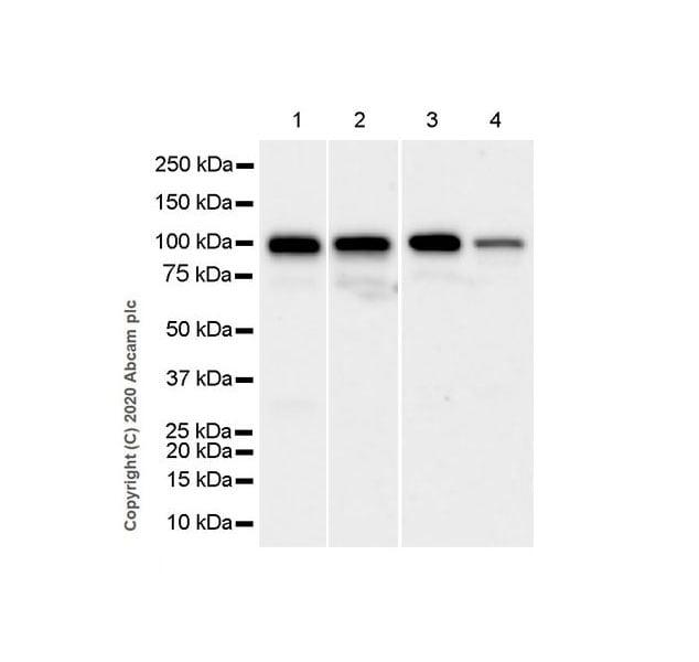 Western blot - Anti-NSUN2/SAKI antibody [EPR24140-93] (ab259941)
