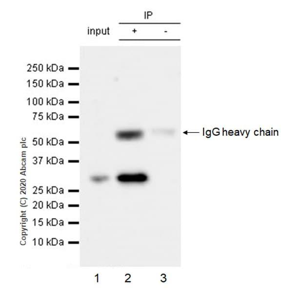 Immunoprecipitation - Anti-PCGF1 antibody [EPR23757-38] (ab259943)