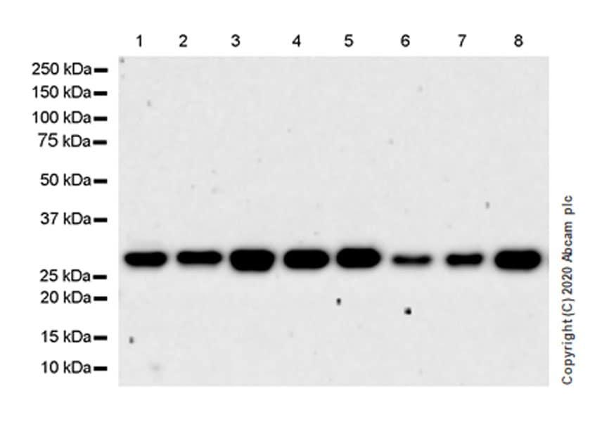 Western blot - Anti-PCGF1 antibody [EPR23757-38] (ab259943)