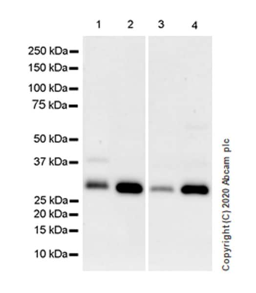 Western blot - Anti-SIRT5 antibody [EPR23787-116] (ab259967)