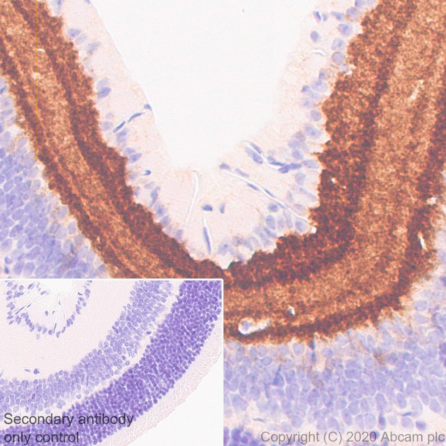 Immunohistochemistry (Formalin/PFA-fixed paraffin-embedded sections) - Anti-GABA Transporter 1 / GAT 1 antibody [EPR24202-20] (ab259971)