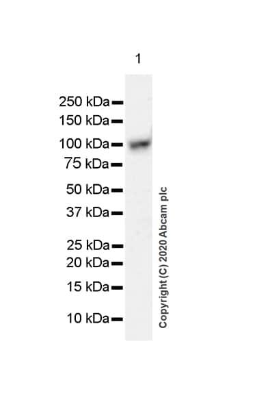 Western blot - Anti-SmarcAL1 antibody [EPR23912-44] (ab259972)