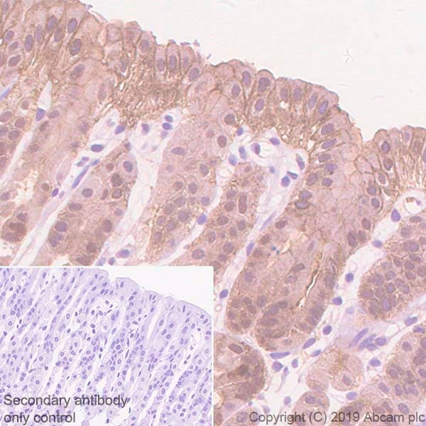 Immunohistochemistry (Formalin/PFA-fixed paraffin-embedded sections) - Anti-Annexin-4/ANXA4 antibody [EPR22929-208] - BSA and Azide free (ab259999)