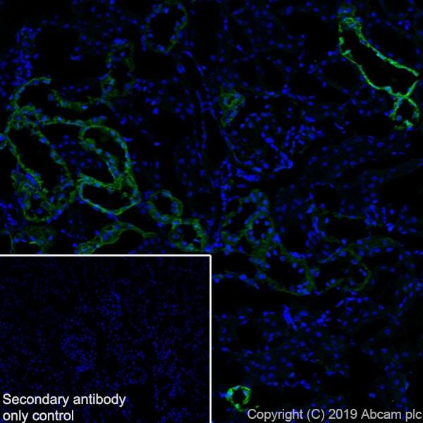 Immunohistochemistry (Frozen sections) - Anti-Annexin-4/ANXA4 antibody [EPR22929-208] - BSA and Azide free (ab259999)