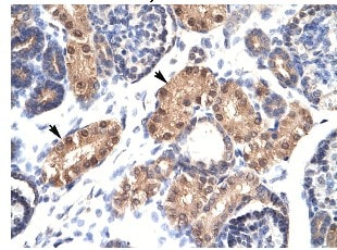 Immunohistochemistry (Formalin/PFA-fixed paraffin-embedded sections) - Anti-ZFPL1 antibody (ab26057)
