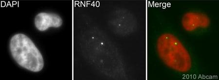 Immunocytochemistry/ Immunofluorescence - Anti-RNF40 antibody (ab26082)