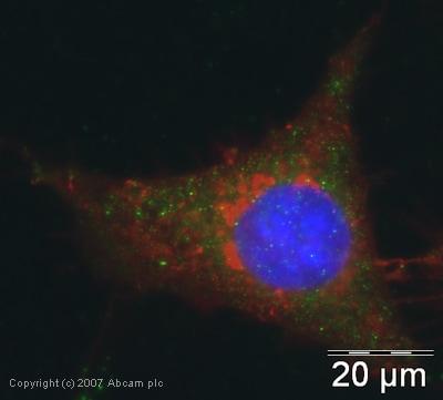 Immunocytochemistry/ Immunofluorescence - Anti-EIF2S1 antibody (ab26197)
