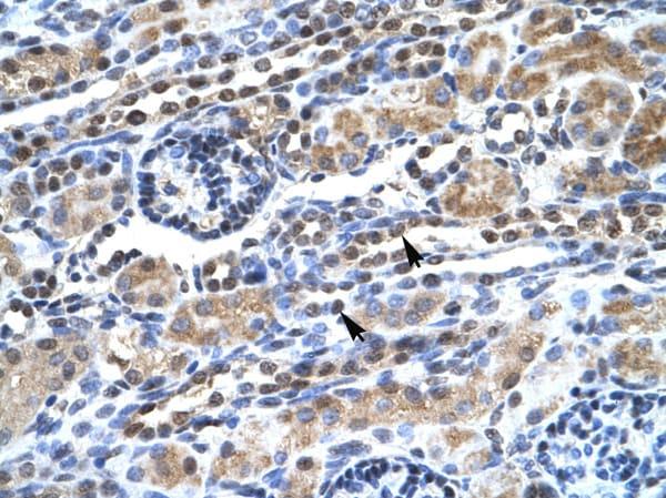 Immunohistochemistry (Formalin/PFA-fixed paraffin-embedded sections) - Anti-SUPT5H antibody (ab26259)