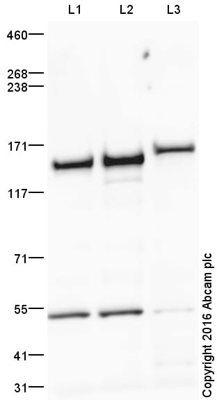 Western blot - Anti-RNA Helicase A antibody (ab26271)