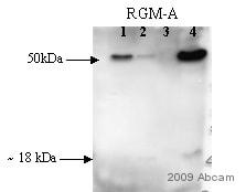 Western blot - Anti-Repulsive Guidance Molecule A antibody (ab26287)