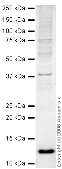 Western blot - Anti-Thioredoxin / TRX antibody (ab26320)