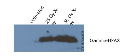 Western blot - Anti-gamma H2A.X (phospho S139) antibody [9F3] (ab26350)