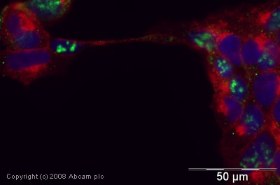 Immunocytochemistry/ Immunofluorescence - Anti-Cdc20 antibody (ab26483)
