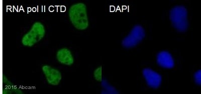 Immunocytochemistry/ Immunofluorescence - Anti-RNA polymerase II CTD repeat YSPTSPS antibody - ChIP Grade (ab26721)