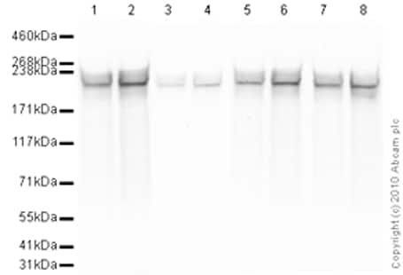 Western blot - Anti-RNA polymerase II CTD repeat YSPTSPS antibody - ChIP Grade (ab26721)