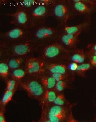 Immunocytochemistry/ Immunofluorescence - Anti-SAM68 antibody (ab26803)