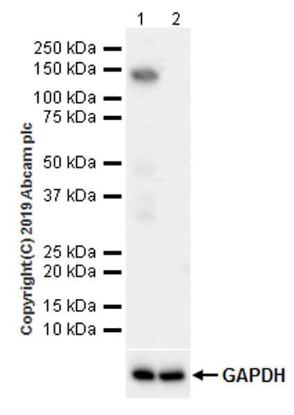 Western blot - Anti-TRIM24 antibody [EPR22825-2] - BSA and Azide free (ab260000)