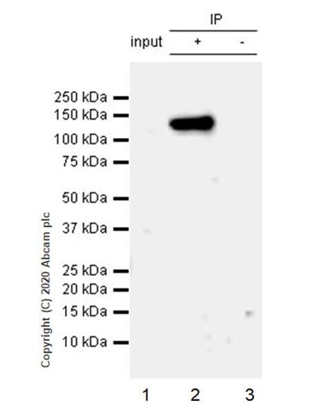 Immunoprecipitation - Anti-NLRP3 antibody [EPR23726-24] (ab260017)