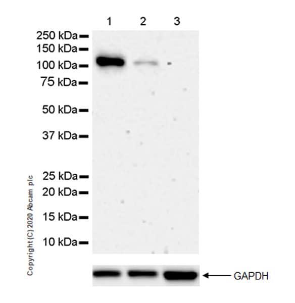 Western blot - Anti-NLRP3 antibody [EPR23726-24] (ab260017)