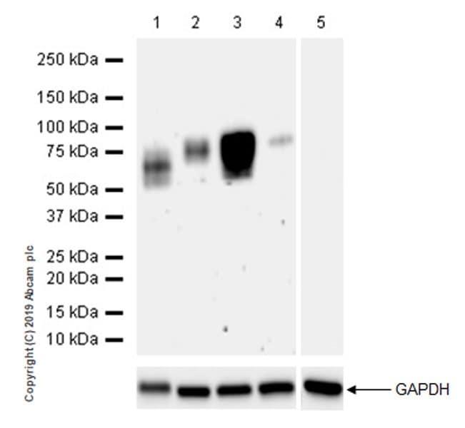 Western blot - Anti-SIRP alpha antibody [EPR22930-163] (ab260039)