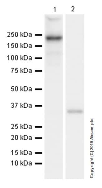 Western blot - Anti-Collagen I antibody [EPR22894-89] (ab260043)