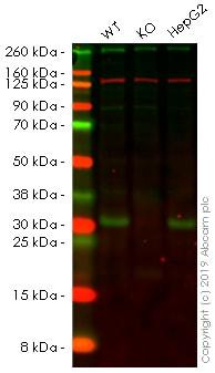 Western blot-人SDHB基因敲除HEK-293细胞系(ab260860)