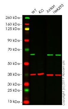 Western blot - Human G3BP1 knockout A-431 cell lysate (ab261695)