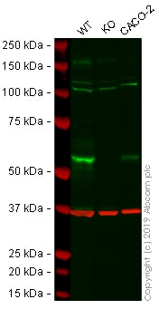 Western blot - Human MMP14 knockout A-431 cell lysate (ab261699)