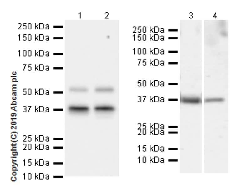 Western blot - Anti-Cdk9 antibody [EPR22956-60] (ab261724)