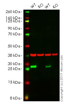 Western blot - Human HSPB1 knockout HeLa cell line (ab261738)