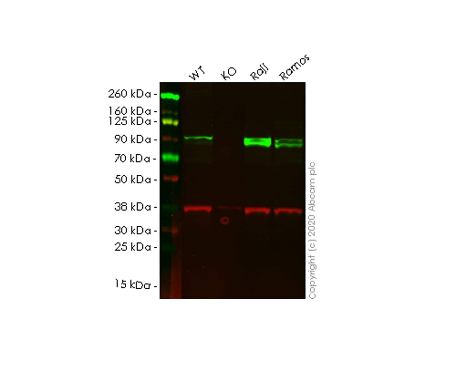 Western blot - Human ICAM1 knockout HeLa cell line (ab261742)