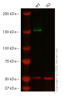 Western blot - Human FANCD2 knockout HeLa cell line (ab261743)