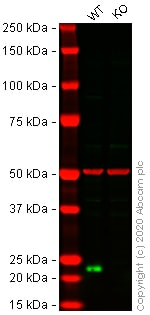 Western blot - Human CBX3 (HP1 gamma) knockout HeLa cell line (ab261744)