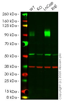 Western blot - Human CD276 knockout HeLa cell line (ab261756)