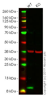Western blot - Human S100A4 knockout HeLa cell line (ab261758)