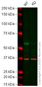Western blot - Human ELK1 knockout HeLa cell line (ab261764)