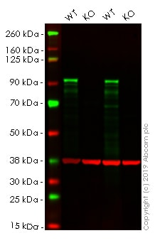 Western blot - Human NR3C1 knockout HeLa cell line (ab261766)