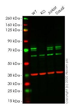 Western blot - Human ATG16L1 knockout HeLa cell line (ab261773)