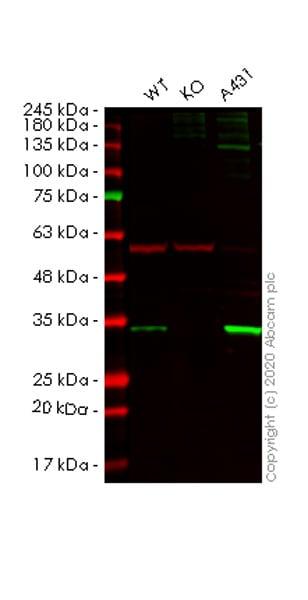 Western blot - Human SFN knockout HeLa cell line (ab261779)