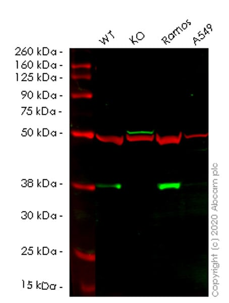 Western blot - Human BCL10 knockout HeLa cell line (ab261797)