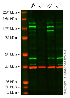 Western blot - Human STAT2 knockout HeLa cell line (ab261819)