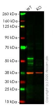 Western blot - Human FOXA1 knockout HeLa cell line (ab261823)
