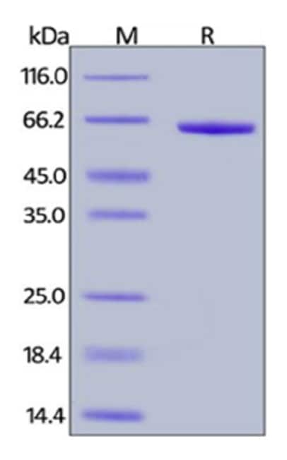 SDS-PAGE - Recombinant cynomolgus monkey FGL1 protein (Fc Chimera Active) (ab261839)