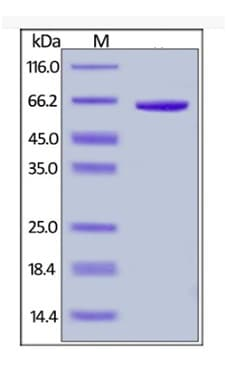 SDS-PAGE - Recombinant human FGL1 protein (Fc Chimera Active) (ab261843)