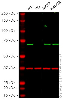 Western blot - Human SDHA knockout HEK-293 cell line (ab261853)
