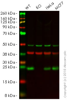 Western blot - Human RAB10 knockout A549 cell line (ab261868)
