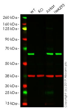Western blot - Human G3BP1 knockout A-431 cell line (ab261886)