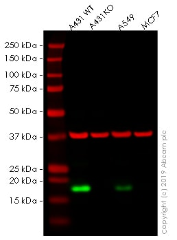 Western blot - Human CLDN1 knockout A-431 cell line (ab261889)