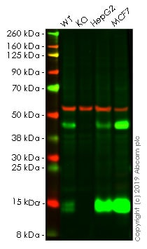 Western blot - Human CTSD knockout A-431 cell line (ab261891)