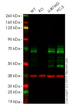 Western blot - Human PXN (Paxillin) knockout A-431 cell line (ab261892)